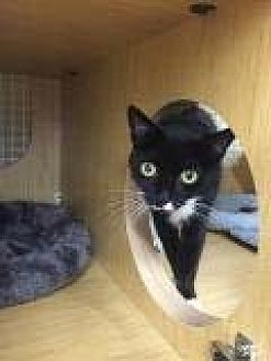 Domestic Shorthair Cat for adoption in Brooklyn, New York - Mama Mieka