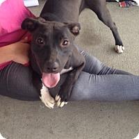 Adopt A Pet :: BEASTY - Pompton lakes, NJ