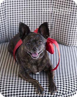 Boston Terrier/Chihuahua Mix Dog for adoption in McKinney, Texas - Stormy **Diamond Dog $125 Adoption Fee**