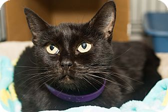 Domestic Shorthair Cat for adoption in Los Angeles, California - Leila