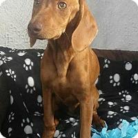 Adopt A Pet :: Rex - Newark, DE