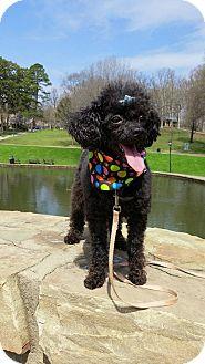 Miniature Poodle Mix Dog for adoption in Charlotte, North Carolina - Puddles