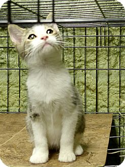 Domestic Shorthair Kitten for adoption in Marlinton, West Virginia - Roy
