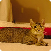Domestic Mediumhair Cat for adoption in Flower Mound, Texas - Holly