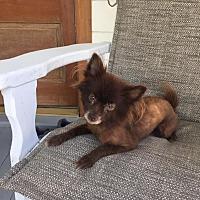 Pomeranian Dog for adoption in Baton Rouge, Louisiana - Lucy