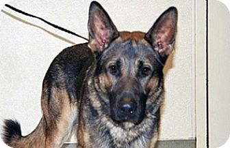 German Shepherd Dog Mix Dog for adoption in Wildomar, California - Rudy