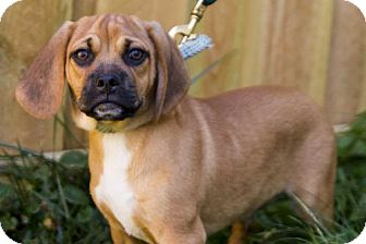 Pug/Beagle Mix Puppy for adoption in St. Louis Park, Minnesota - Albert