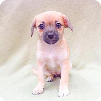 Shih Tzu/Maltese Mix Puppy for adoption in Sacramento, California - Twix