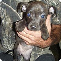 Adopt A Pet :: Mocha - Mansfield, TX