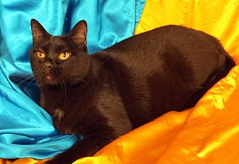Domestic Shorthair Cat for adoption in St. Louis, Missouri - Maximillian