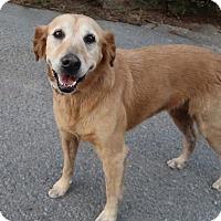 Golden Retriever Mix Dog for adoption in Rochester, New York - Gracie
