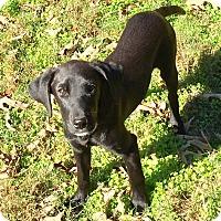Adopt A Pet :: Ivy-pending adoption - Manchester, CT