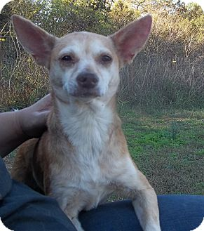 Chihuahua Mix Dog for adoption in Manchester, Connecticut - Lady pending adoption