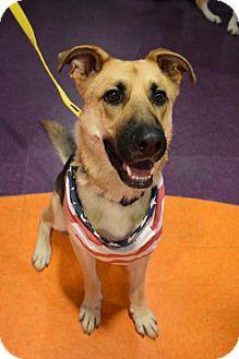 German Shepherd Dog/Labrador Retriever Mix Dog for adoption in Greensboro, North Carolina - DiNozzo