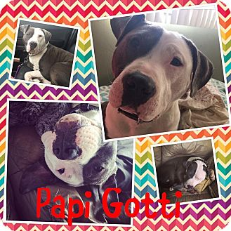 Pit Bull Terrier Mix Dog for adoption in Flossmoor, Illinois - Papi Gotti