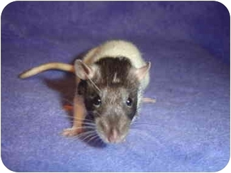 Rat for adoption in Winner, South Dakota - NomNom