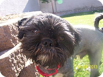 Lhasa Apso Mix Dog for adoption in Phoenix, Arizona - Harry