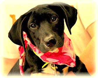 Labrador Retriever/Border Collie Mix Puppy for adoption in Sparta, New Jersey - Tootsie