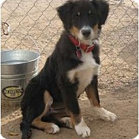 Adopt A Pet :: Kristi - Golden Valley, AZ