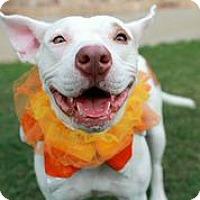 Adopt A Pet :: Stitch - Austin, TX