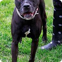 Boxer Mix Dog for adoption in Brookhaven, New York - Olga