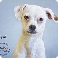 Adopt A Pet :: Opal - Phoenix, AZ