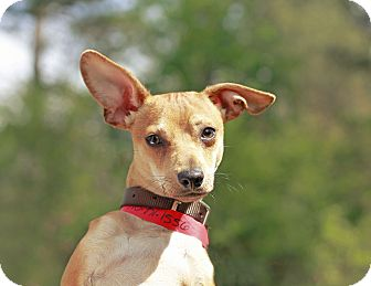 Marietta, GA - Chihuahua/Italian Greyhound Mix. Meet ...