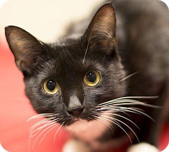 Domestic Shorthair Cat for adoption in Chicago, Illinois - Dahlia