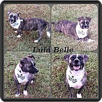 Adopt A Pet :: Lulu Belle-pending adoption - East Hartford, CT