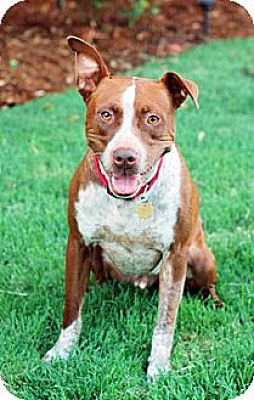 Cattle Dog/Pit Bull Terrier Mix Dog for adoption in Fremont, California - Rusty D2830