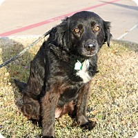 Adopt A Pet :: Clementine - Wylie, TX