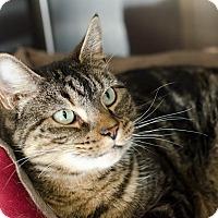 Adopt A Pet :: Chloe - Peacedale, RI