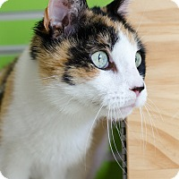 Adopt A Pet :: Patches - Peacedale, RI