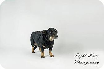 Dachshund Mix Dog for adoption in North Myrtle Beach, South Carolina - Pert