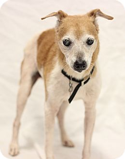 Jack Russell Terrier/Chihuahua Mix Dog for adoption in Bradenton, Florida - Buster
