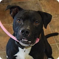 Pit Bull Terrier Mix Dog for adoption in Lisbon, Ohio - Rocket