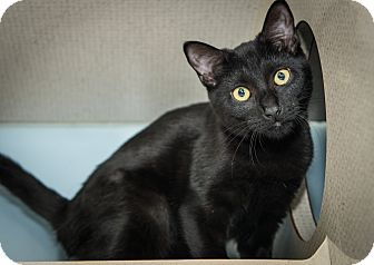 Domestic Shorthair Kitten for adoption in New York, New York - Camila