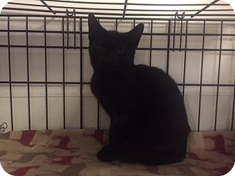 Bombay Kitten for adoption in Forest Hills, New York - Berry