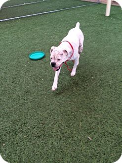 Boxer Dog for adoption in Austin, Texas - Cartwheel