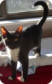 Domestic Shorthair Kitten for adoption in Manning, South Carolina - Apollo