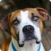 Boxer Mix Dog for adoption in Suwanee, Georgia - Bradley