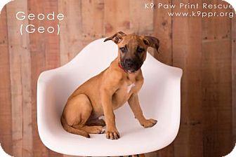 Belgian Malinois/Terrier (Unknown Type, Medium) Mix Puppy for adoption in Pittsburg, California - Geode