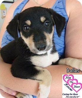 Doberman Pinscher Mix Puppy for adoption in Canutillo, Texas - Dallas