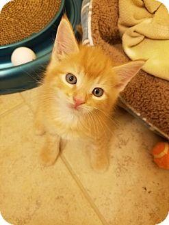 Domestic Shorthair Kitten for adoption in Hampton, Virginia - Ron