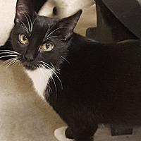 Adopt A Pet :: Mittens aka Nursie - Huntsville, AL