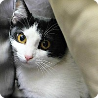 Domestic Shorthair Cat for adoption in Seattle, Washington - Cassidy