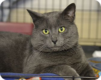 Domestic Shorthair Cat for adoption in Byron Center, Michigan - Fisher