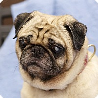 Adopt A Pet :: Charley - Ile-Perrot, QC