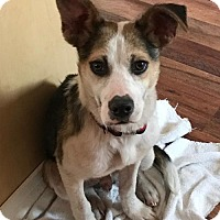Australian Cattle Dog Mix Puppy for adoption in Blossvale, New York - Jack (Danielle- Camden)