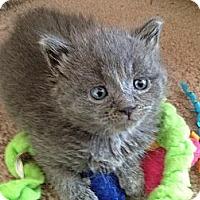 Adopt A Pet :: Misty - East Hanover, NJ